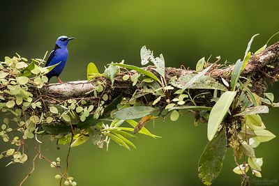 Red-legged Honeycreeper  ♂