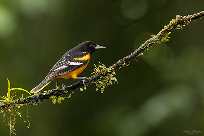 Baltimore Oriole ♂