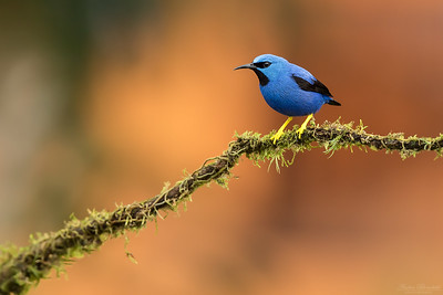 Shining honeycreeper ♂