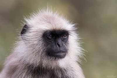 Northern Plains Grey Langur