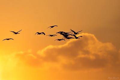 Munktranor i soluppgången