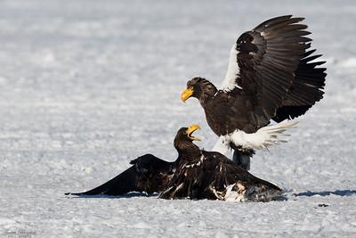 Jättehavsörnar i slagsmål, en äldre och en yngre