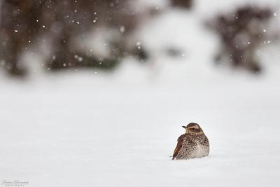 Bruntrast i snöfall