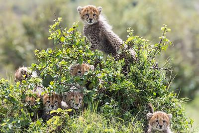 Sju gepardungar