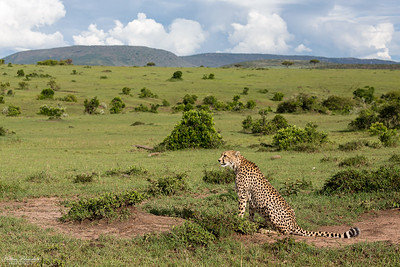 Gepard i sitt landskap