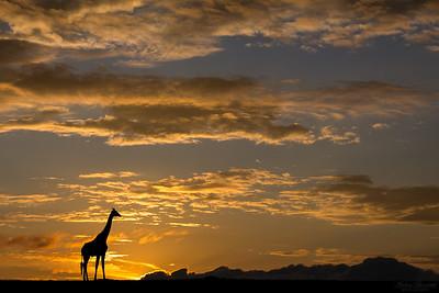Giraff i soluppgång