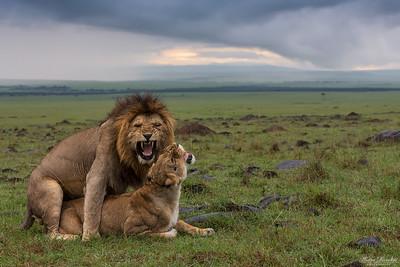 Parande lejon