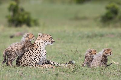 Gepardhona med ungar