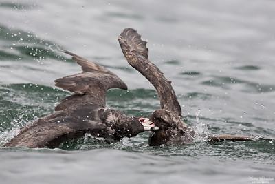 Stormfåglar i slagsmål