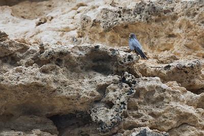 Adult sotfalk på Al Fahl Island
