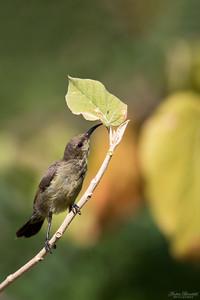 Abessinsk solfågel