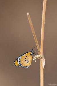 Afrikansk monark