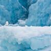 Vittrur framför glaciärens blåis