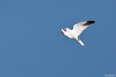 Spelflygande stäpphök ♂