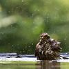 Sparvhök som badar