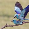 Blåkråkor, parning