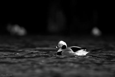 Alfågel ♂ i svartvitt