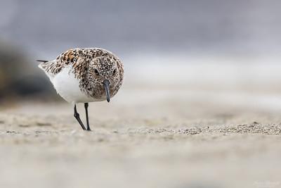 Sandlöpare