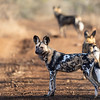Grupp av afrikanska vildhundar