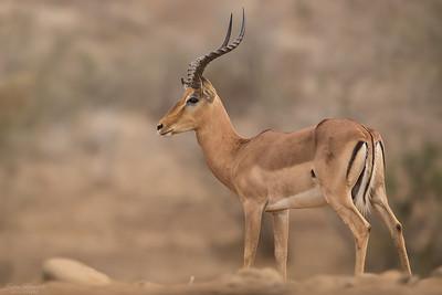 Impalaantilop