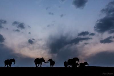 Elefantflock i skymningen