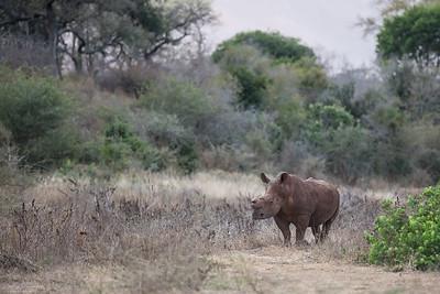 Trubbnoshörning (vit noshörning)