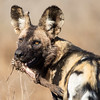 Afrikansk vildhund med vårtsvinsben