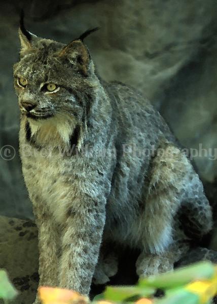 Lynx 01 Watercolor