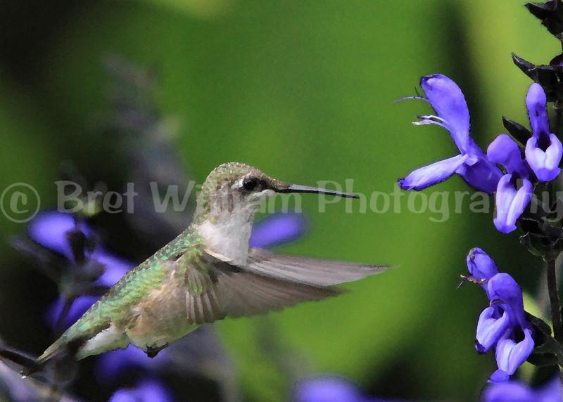 Hummingbird_0679 Watercolor