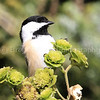 WC_Chickadee Bird_03