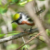 Or the chestnut-sided warbler.<br /> Actually only the two rare birds  seen that weekend (golden-winged and blue-winged warblers) were the ones that refused to be photographed.