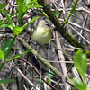 Scott Hannan says this is a Philadelphia vireo.  And of course, he's right  (black spot in fron of eye, yellow belly).  Damn him.