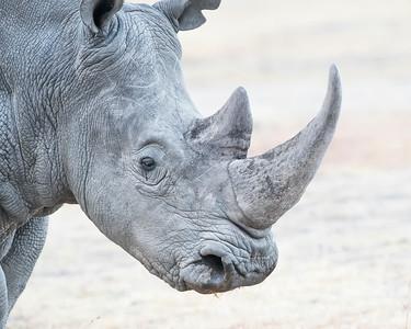 Ol Pejata Sweetwaters White Rhino