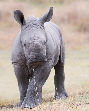 Lake Nakuru White Rhino infant