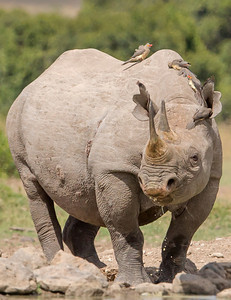 This photograph of Black Rhino was captured within Ol Pejeta Conservancy Park in Kenya, Africa (3/13).   This photograph is protected by the U.S. Copyright Laws and shall not to be downloaded or reproduced by any means without the formal written permission of Ken Conger Photography.