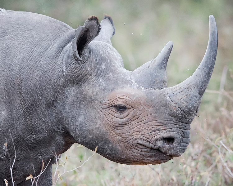 This photograph of a black rhino was captured in  Lake Nakuru National Park, Kenya, Africa (2/15). This photograph is protected by International and U.S. Copyright Laws and shall not to be downloaded or reproduced by any means without the formal written permission of Ken Conger Photography.