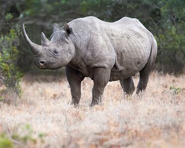 Ol Pejata Conservancy Park Sweetwaters Black Rhino