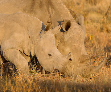 This photograph of mother White Rhino and her calf browsing was captured within Lake Nakuru National Park in Kenya, Africa (3/13).   This photograph is protected by the U.S. Copyright Laws and shall not to be downloaded or reproduced by any means without the formal written permission of Ken Conger Photography.
