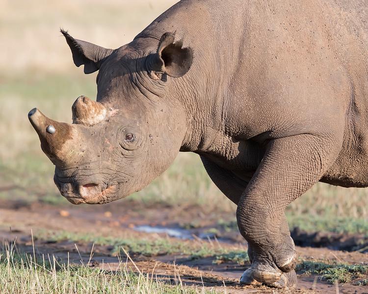 Masai Mara Black Rhino