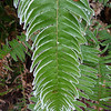 Rime on sword fern.