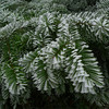 Rime on Douglas-fir foliage.