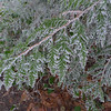 Rime on western red cedar foliage.