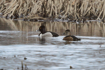 drake and hen Trempealeau NWR 4/10/14