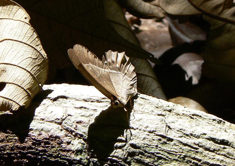PierellaLena10734 June 30, 2007,  8:26 .a.m. P1010734 Pierella sp., probably lena female. Tail spots ok above but ground should be blue.
