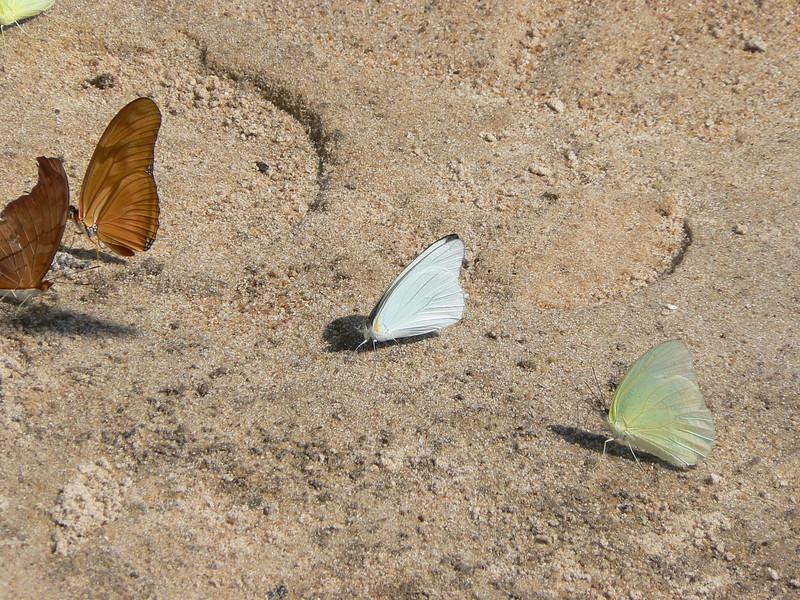 FloridaWh10772 June 30, 2007  11:38 a.m.  P1010772 Florida White, Glutophrissa drusilla, on beach with Ruddy Daggerwings & a sulphur (maybe Statira)