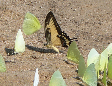 STBroad-banded10751 June 30, 2007  11:33 a.m.  P1010751 Broad-banded Swallowtail at beach by lodge with Statiras