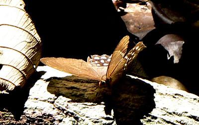 PierellaLenaPhotosh10732 June 30, 2007    8:25 a.m.   P1010732 Pierella (lena? probably female, as lena tail spots should have blue background)