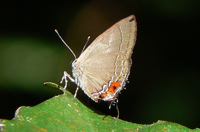 HSCalycopisSp10806 July 1, 2007  8:02 a.m.  P1010806 Calycopis sp. hairstreak.  Many Calycopis exist in South America.