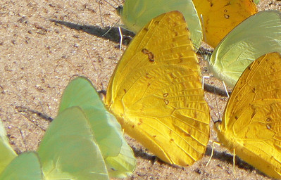 Or-barredS10850 July 1, 2007  12:17 p.m.  P1010850 Orange-barred Sulphur, Phoebis philea, with Statiras.