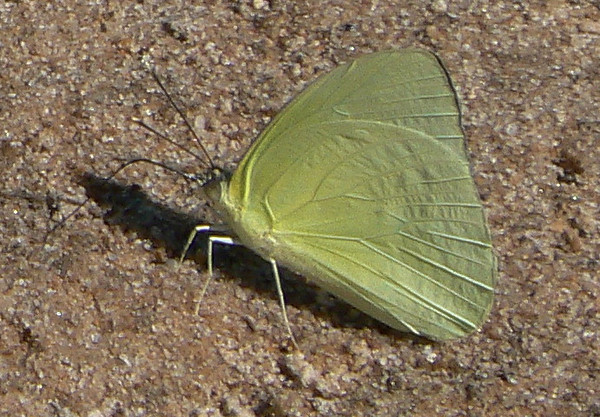 Statira(v)10836 July 1, 2007  12:10 p.m.  P1010836 Statira sulphur, Aphrissa statira